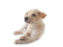 De hond van het puppy het liggen Stock Foto