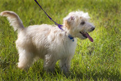 De hond van het puppy op een leiband Stock Afbeelding