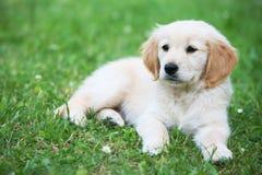 De hond van het puppy op gras Stock Afbeeldingen