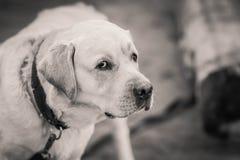 De hond van het ras van Labrador bekijkt suspiciously u Royalty-vrije Stock Foto's