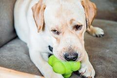 De hond van het ras van Labrador kauwt een stuk speelgoed Stock Foto