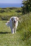 De hond van het retrieverhuisdier gelukkig op gang Stock Afbeelding