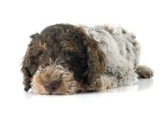 De Hond van het Romagnawater Stock Afbeelding