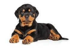 De hond van het Rottweilerpuppy Royalty-vrije Stock Foto