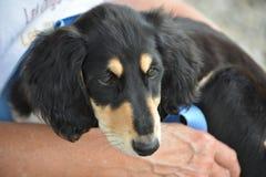 De hond van het Salukipuppy Stock Fotografie