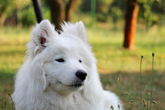 De hond van het Samoyedpuppy ontspant bij tuin Royalty-vrije Stock Foto
