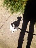 De hond van het schaduwpuppy op leiband die omhoog persoon bekijken Royalty-vrije Stock Fotografie