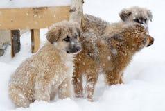 De hond van het Shpherdpuppy Royalty-vrije Stock Foto's