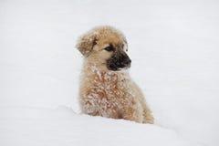 De hond van het Shpherdpuppy Stock Foto