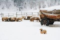 De hond van het Shpherdpuppy Royalty-vrije Stock Fotografie