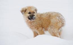 De hond van het Shpherdpuppy Stock Foto's