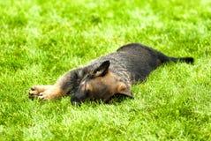 de hond van het slaappuppy Stock Fotografie