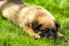 de hond van het slaappuppy Stock Afbeelding