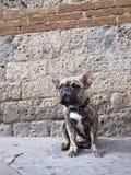 De hond van het stieregevecht Royalty-vrije Stock Foto