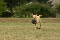 De hond van het voetbal Stock Foto