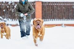 De hond van hondbordeaux Royalty-vrije Stock Foto's