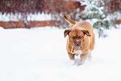 De hond van hondbordeaux Stock Afbeeldingen