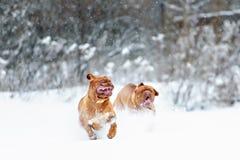 De hond van hondbordeaux Stock Foto's