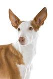 De Hond van Ibizan Stock Foto's