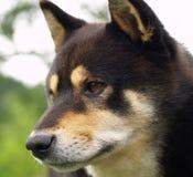 De hond van Inu van Shiba stock foto