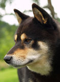 De hond van Inu van Shiba stock afbeeldingen