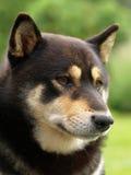 De hond van Inu van Shiba royalty-vrije stock foto's