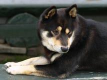 De hond van Inu van Shiba royalty-vrije stock fotografie