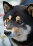 De hond van Inu van Shiba royalty-vrije stock afbeeldingen