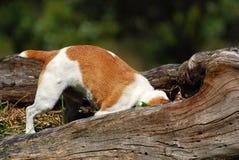 De hond van Jack Russell de jachtmuizen Stock Foto
