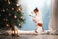 De hond van Jack Russell Kerstmisseizoen 2017, nieuw jaar, Royalty-vrije Stock Foto's