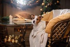 De hond van Jack Russell Kerstmisseizoen 2017, nieuw jaar, Royalty-vrije Stock Afbeelding