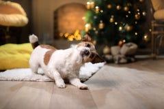 De hond van Jack Russell Kerstmisseizoen 2017, nieuw jaar, Stock Foto's