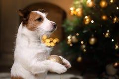 De hond van Jack Russell Kerstmisseizoen 2017, nieuw jaar, Royalty-vrije Stock Foto