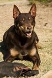 De hond van Kelpie het spelen met oude laars Royalty-vrije Stock Afbeelding