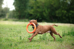 De hond van kuilbull terrier in het park Royalty-vrije Stock Afbeeldingen