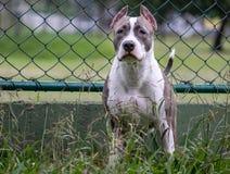 De hond van de kuilstier op alarm stock fotografie