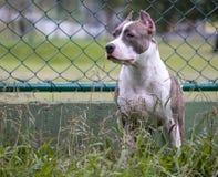 De hond van de kuilstier op alarm stock afbeelding