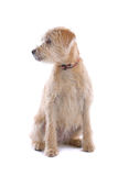 De hond van Labradoodle Stock Afbeeldingen