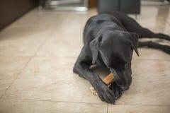 De hond van Labrador van de Beatifullretriever op de vloer royalty-vrije stock foto