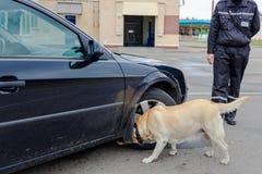 De hond van de labradordouane het zoeken Royalty-vrije Stock Foto's