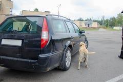 De hond van de labradordouane het zoeken Royalty-vrije Stock Afbeelding