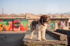 De hond van Lagottoromagnolo het stellen in stedelijk milieu Royalty-vrije Stock Foto's
