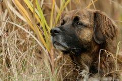 De hond van Leonberger Royalty-vrije Stock Afbeelding