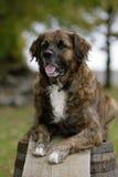 De hond van Leonberger Stock Afbeeldingen