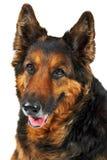 De hond van Longwooled die op de witte achtergrond wordt geïsoleerd Stock Foto's