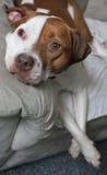 De Hond van Lounging Stock Afbeeldingen