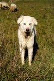 De hond van Maremma Royalty-vrije Stock Foto's
