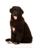 De hond van Newfoundland op witte achtergrond wordt gezeten die Stock Fotografie