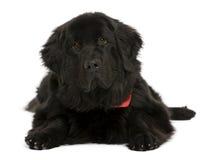 De hond van Newfoundland, voor witte achtergrond Stock Afbeelding