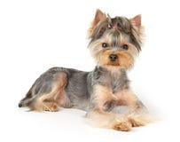 De hond van Nice met kort haar Stock Afbeeldingen